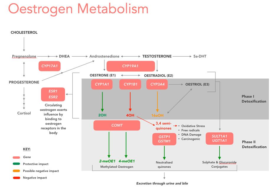 Oestrogen Metabolism